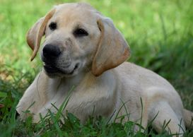 Apollo, English Yellow Labrador Retriever male pup