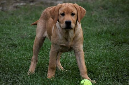 Chevy, available dark yellow English Labrador male pup