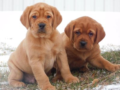 Male pups from one of Cinnamon's past litters