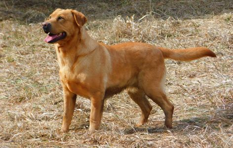 Cinnamon,English Labrador Retriever female
