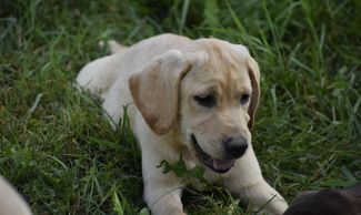 Finn AKC English yellow Labrador Retriever male puppy