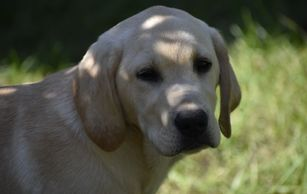 Ike AKC English yellow Labrador pup