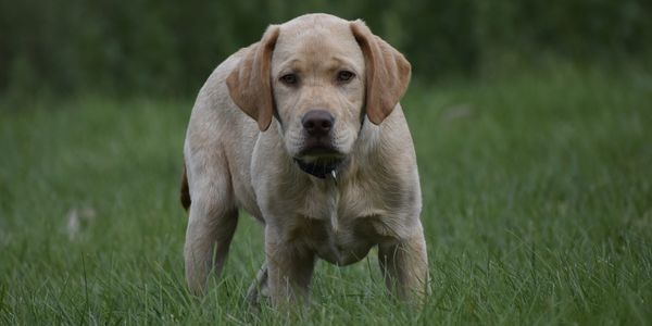 Monte, available yellow English Labrador pup