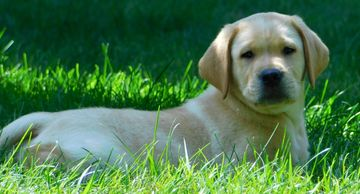Ollie, available yellow English Labrador male pup