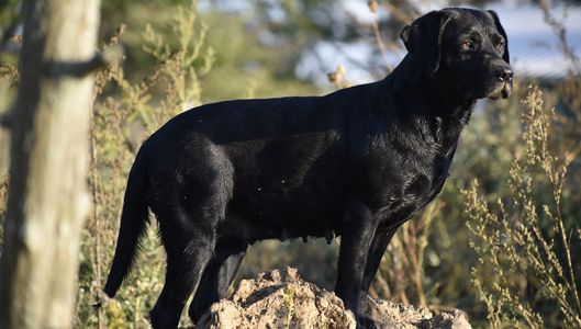 Stunning Ebony, AKC English black Labrador Retriever female
