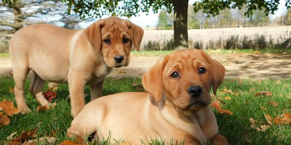 fox red English Labrador pups