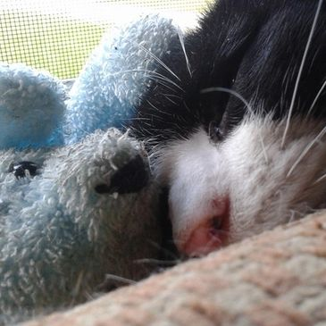 Han Solo, special needs kitty, sleeping with his Christmas teddy.