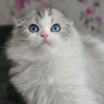 Wunderfolds Scottish Fold Cattery