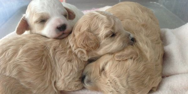 toy poodle puppies sleeping