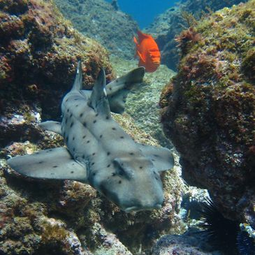 Horn sharks and Garibaldi are found here in our local waters