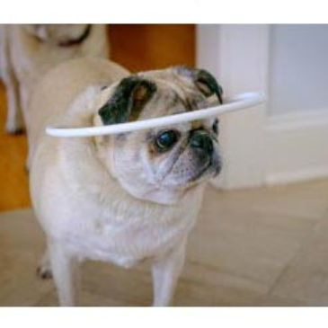 blind pug  wearing face protection halo hoop