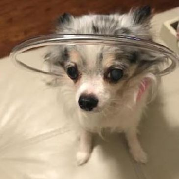 blind dog bumper collar on tiny chihuahua