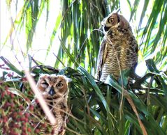 Sibling owls at nap time Satellite Beach, FL. Photo courtesy of Lisa Scott