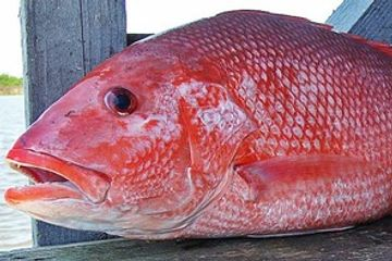 Red Snapper, Silk Snapper, West Indian Snapper, Day Snapper, Longfin Red Snapper.