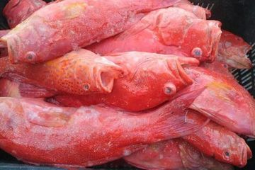 Red Grouper, Grouper Reds, Sea Bass, rock cod, gag, yellowmouth, scamp, rock hind, red hind, snapper