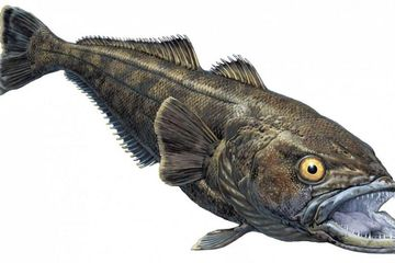 Antarctic toothfish, Patagonian toothfish, Pacific sea bass, South American sea bass, chilean sea