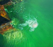 a jellyfish in the water