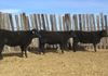 *SOLD -Yearling Heifers consigned to Marana Invitational sale 3/3/18