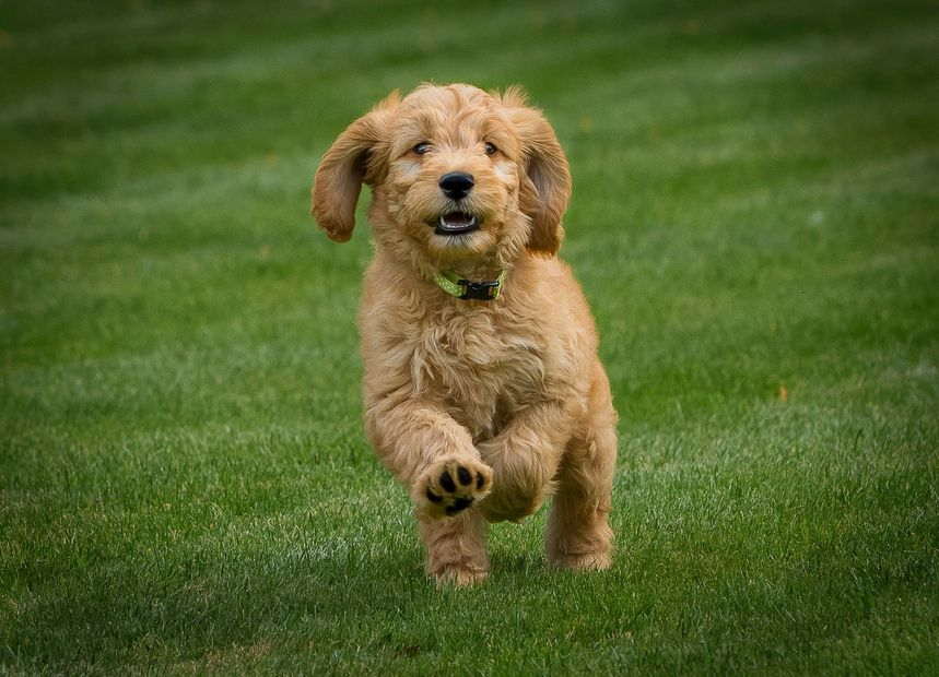 goldendoodle puppy for sale london goldendoodle puppy for sale kent goldendoodle puppy for sale uk
