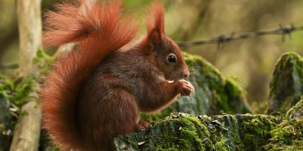 Penrhos red squirrel. Image by kind permission Alan Jones photography