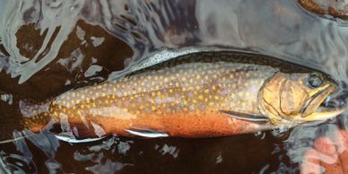 St. John's fly fishing brook trout guides Newfoundland