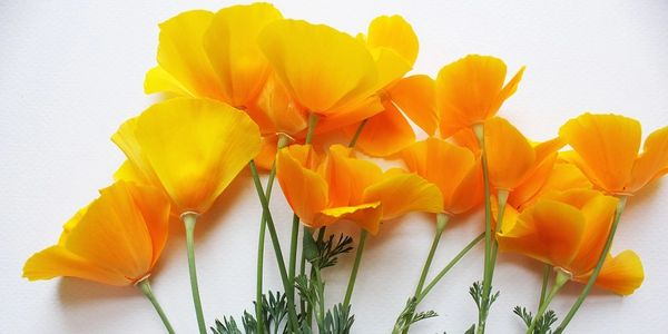 California poppy, flower, stem, leaf, orange, green, white