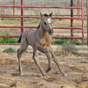 Grulla or Grullo horses for sale