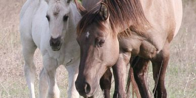 Miss Big Minnie 2003 AQHA Grulla Mare.  Homozygous Black.  EE aa Dn.  5 Panel NN.