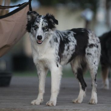 Blue Merle half Border Collie half Aussie female