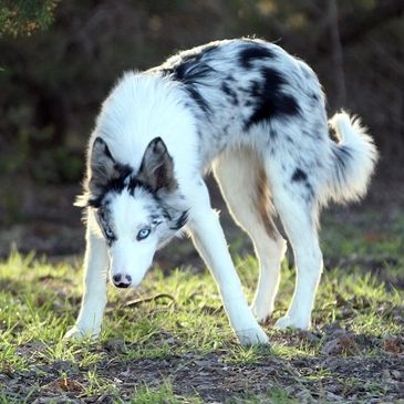 Blue Merle Border Collie female with 2 blue eyes