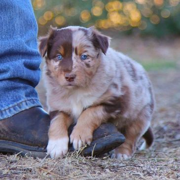 Australian Shepherd Border Collie Cross puppies for sale