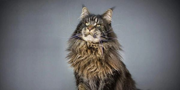 Maine Coon Cats Canada Ontario - Alexandroff Cattery