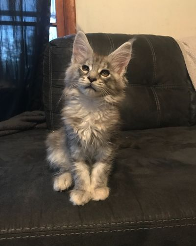 Kittens | Bar O Maine Coons