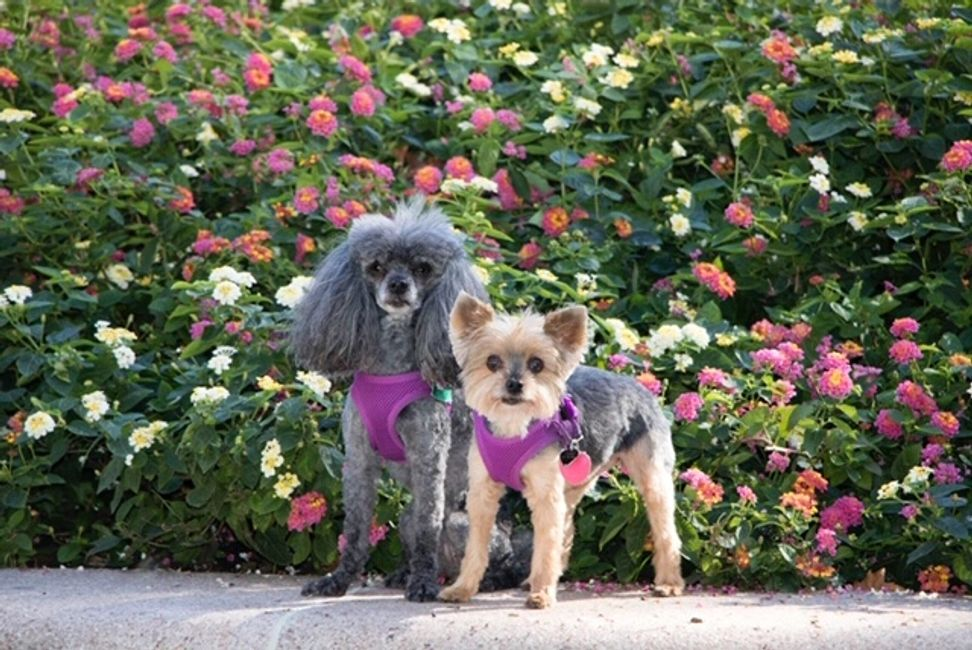 Picture of two small dogs in front of flowers.