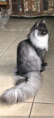 MAINE COON CATS FOR SALE- FROM ATTY KATS- TAMPA - Maine Coon Kittens