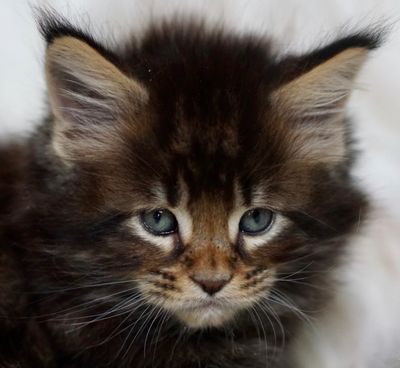 MAINE COON CATS FOR SALE- FROM ATTY KATS- TAMPA - Maine Coon