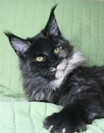 Madam - Smoke Torti, to be bred to ZuZu in September for November Kittens.