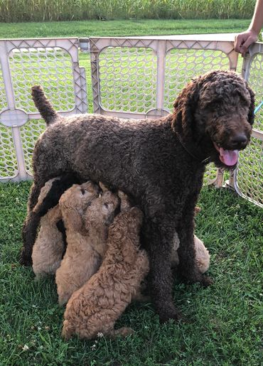 Davis Family Standards - Breeder, Standard Poodles, Puppies for Sale