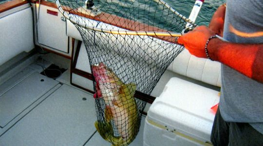 Walleye fish In a net