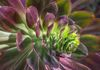 7901, Purple and Green Succulent