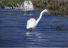Egret in the shallows on a cold day