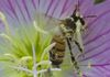 Pollen-covered bee climbs out of evening primrose