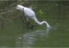 Egret tries to catch a fish