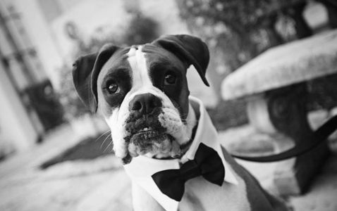 Wedding dog chaperone in Cornwall Dogs at weddings Best Dog Dog Nanny Wedding Dog Care Dog of honour