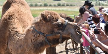 Oasis Camel Dairy Open Farm Days are fun for everyone. Meet camels, take a camel ride and enjoy