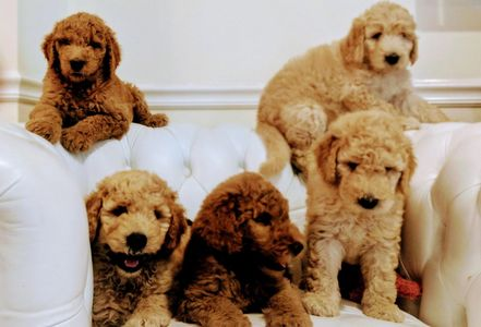 Golden doodles creams and red