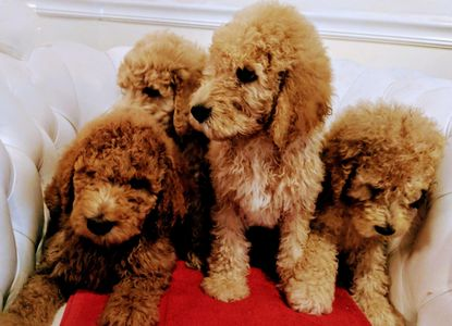 Golden doodle puppies