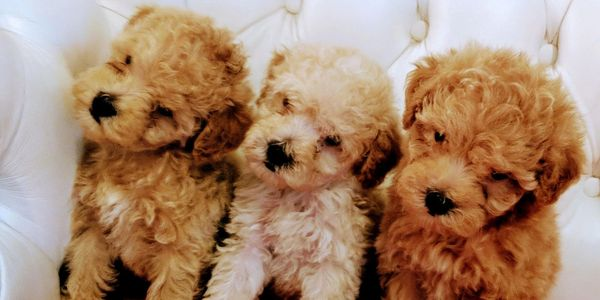 bichpoo puppies