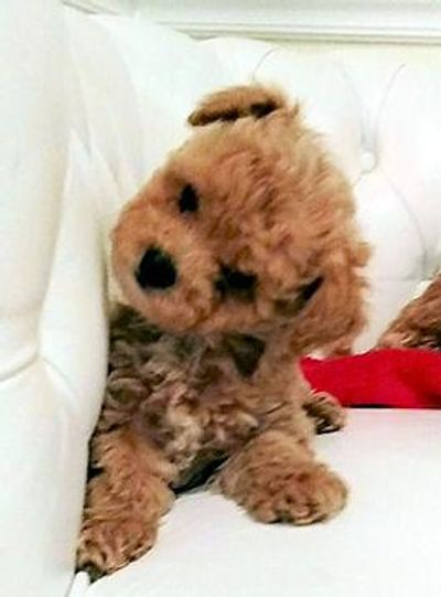 Red Bichpoo