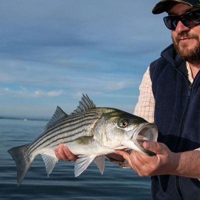 Striped Bass Norwalk Islands caught on the Fly